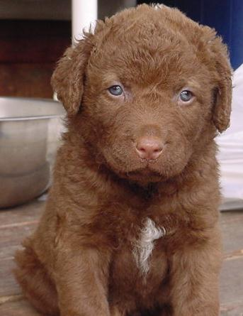 Cute Chesapeake Bay Retriever puppy with blue eyes
